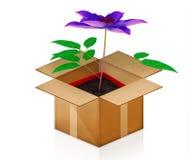 Clematissen in een pot uit de doos Stock Afbeeldingen