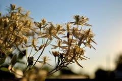 Clematissen kleine witte bloemen op een vage achtergrond van groene bladeren en blauwe hemel stock foto