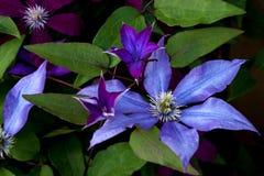 Clematissen purpere kleur Stock Foto