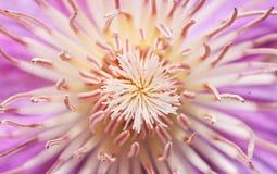 Clematissenbloem in de lente Stock Fotografie