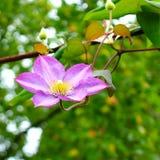 Clematissenbloem in de lentetuin stock foto's