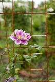 Clematissenbloemen in de tuin cultuur stock foto's