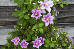 Clematissenbloemen op een achtergrond van een houten muur Stock Afbeeldingen