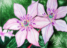 A clematite do rosa dos pares dos pares da aquarela floresce a natureza Imagem de Stock Royalty Free