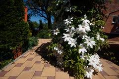 A clematite floresce completamente cobrindo uma cerca no jardim home Imagens de Stock Royalty Free