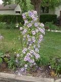 Clematite na flor Imagem de Stock Royalty Free