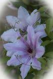 Clematite na primavera Imagem de Stock Royalty Free