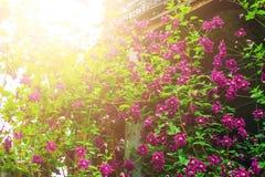 Clematite no quintal imagem de stock royalty free