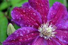 Clematite roxa na chuva Imagens de Stock