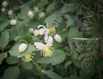 Clematus flowers and acacia thorns in the field Royalty Free Stock Images