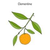 Clementina de Clementine Citrus, agrios ilustración del vector