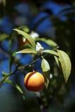 Clementina della Corsica Immagine Stock Libera da Diritti