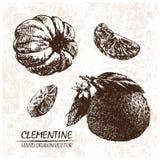 Clementina dettagliata di vettore di Digital disegnata a mano illustrazione di stock