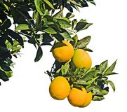 Clementina que crece en el árbol Fotografía de archivo