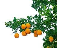 Clementina que crece en el árbol Foto de archivo