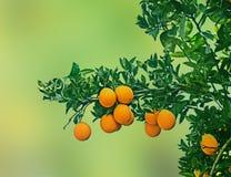 Clementina que crece en el árbol Imagenes de archivo