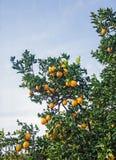 Clementina que crece en el árbol Imagen de archivo