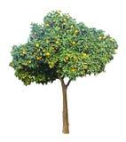 Clementina que crece en el árbol Fotos de archivo