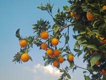 Clementina que crece en el árbol Imágenes de archivo libres de regalías