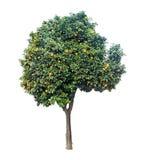 Clementina que crece en el árbol Imagen de archivo libre de regalías