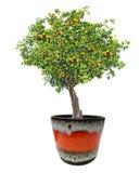 Clementina que crece en el árbol Fotografía de archivo libre de regalías