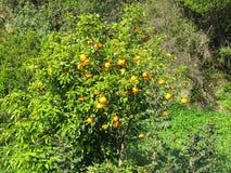 Clementina que crece en el árbol Fotos de archivo libres de regalías
