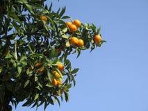 Clementina que cresce na árvore Imagens de Stock Royalty Free