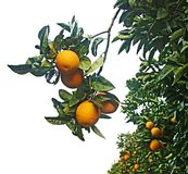 Clementina que cresce na árvore Imagem de Stock