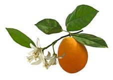 Clementina que cresce na árvore Fotografia de Stock