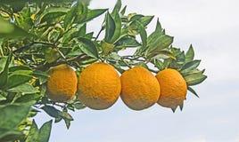 Clementina que cresce na árvore Imagens de Stock