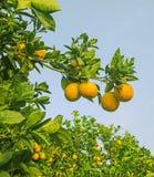 Clementina que cresce na árvore Fotos de Stock Royalty Free