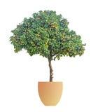 Clementina que cresce na árvore Fotografia de Stock Royalty Free