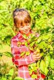 Clementinas de siete años de la cosecha de la muchacha de su jardín Foto de archivo