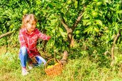 Clementinas de siete años de la cosecha de la muchacha de su jardín Imágenes de archivo libres de regalías