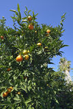 clementine foto de stock royalty free