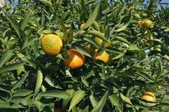 clementine zdjęcia stock