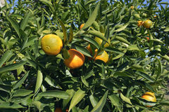 Clementine. Fruit on Tree - Citrus clementina stock photos