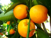 Clementine tree Stock Photos