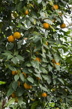 Clementine tree Royalty Free Stock Images