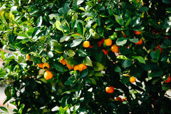 Clementine tree Stock Photography