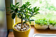 Stylish interior tangerine tree. Plant your Clementine Tree in an area that receives full to partial sunlight. Although Clementine Trees prefer full sunlight Royalty Free Stock Photo