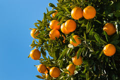 Clementines ripening on tree against blue sky Stock Image