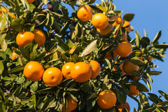 Clementines ripening on tree Stock Image