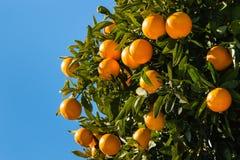 Clementines som mognar på träd mot blå himmel Fotografering för Bildbyråer