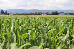 Clementing corn. Maturation of the future harvest. Agrarian sector of the agricultural industry. Plant farm. Growing of cereal cro. Ps. Source of food and well stock photos