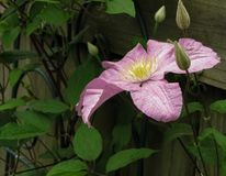 Clementis Flower purpúreo claro con los brotes imágenes de archivo libres de regalías