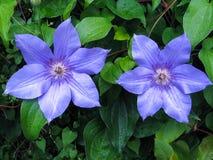 Clementis púrpuras fotografía de archivo