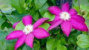 Clemetis fleurissant Images libres de droits