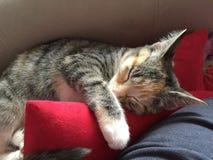 Cleo kattungen arkivbild