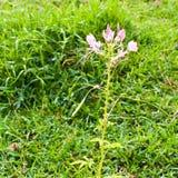 cleome αράχνη λουλουδιών Στοκ Φωτογραφίες